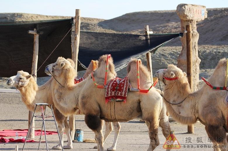 [原创]j新疆双峰骆驼