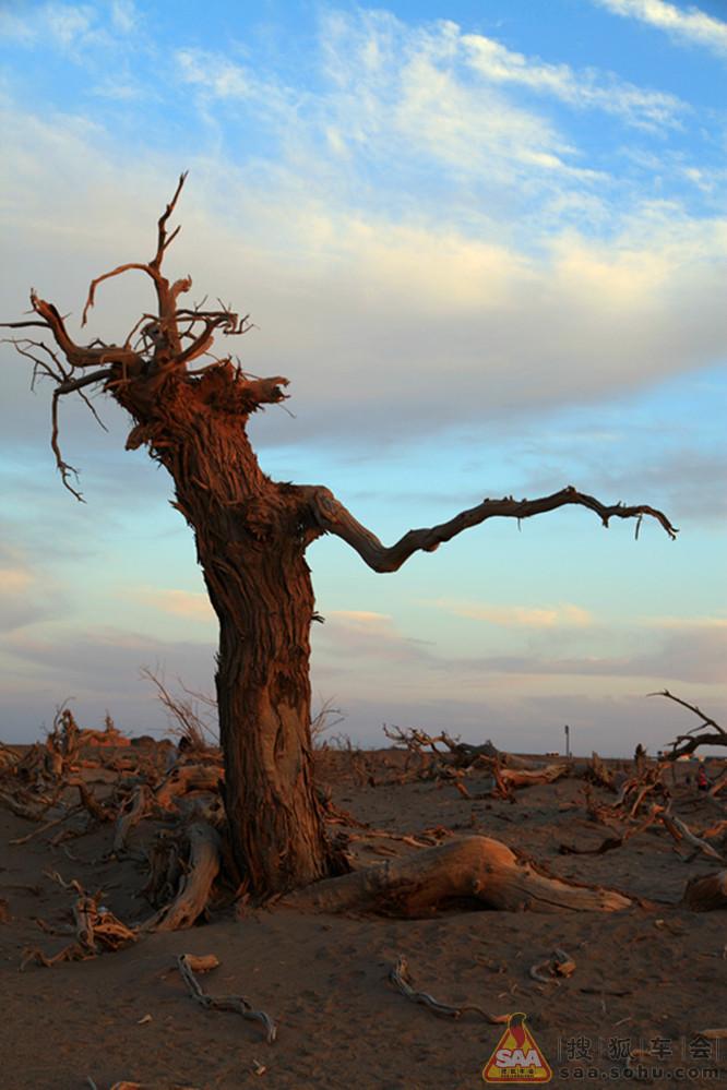 怪树林实际上是大片胡杨树枯死而形成的.