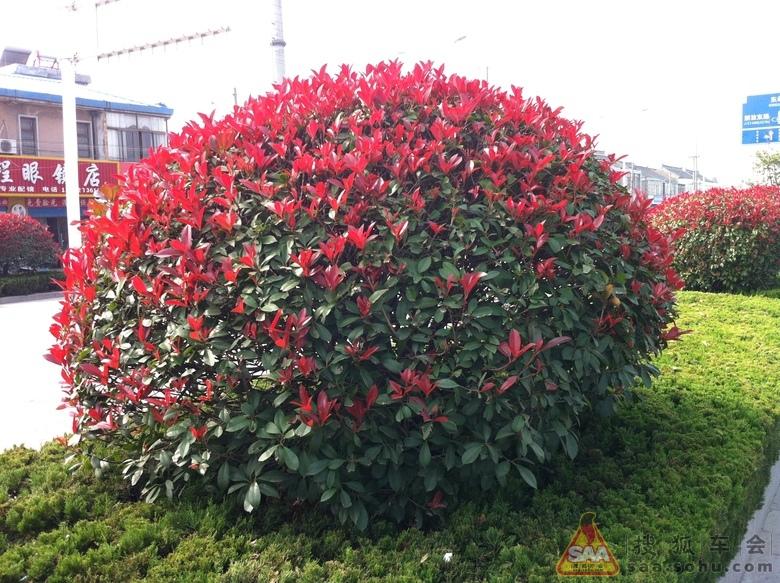 红叶石楠还可培育成独干,球形树冠的乔木,在绿地中作为行道树或孤植作
