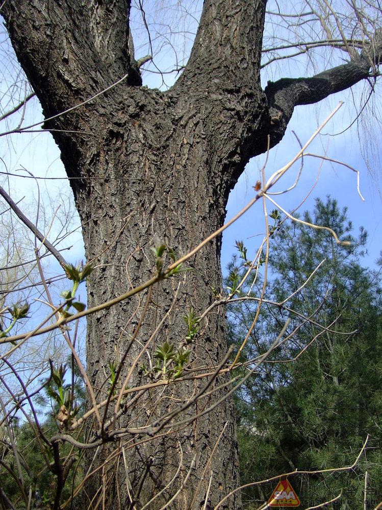 柳树在干枯的枝杈上发出了嫩绿色的嫩芽;杨树上的枯枝也有了下挂毛