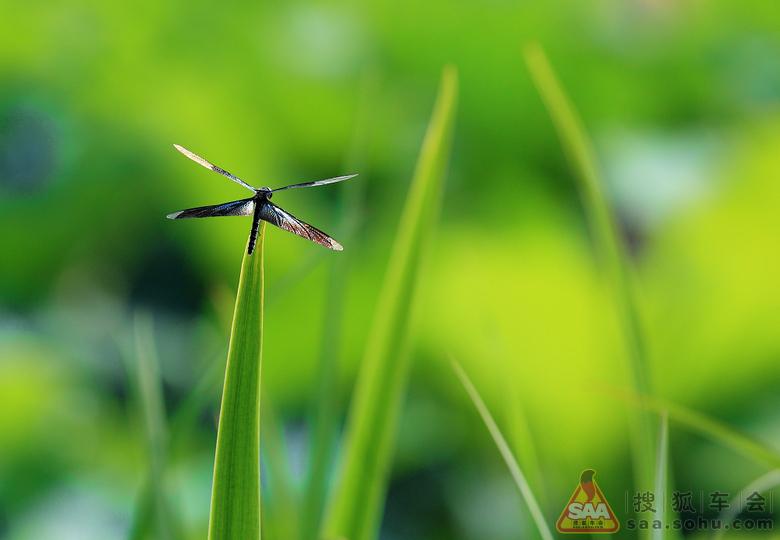 夏天】荷花·蜻蜓·黑天鹅!