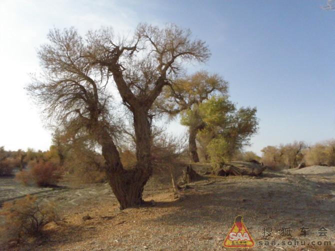新疆胡杨树