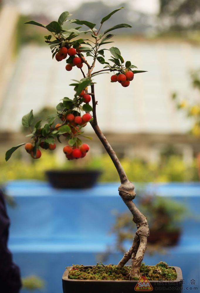 外拍盆景展之微型果树盆景