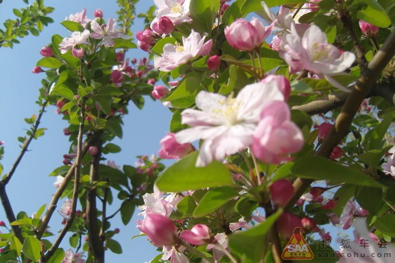 海棠花儿开 小蜜蜂采蜜忙图片