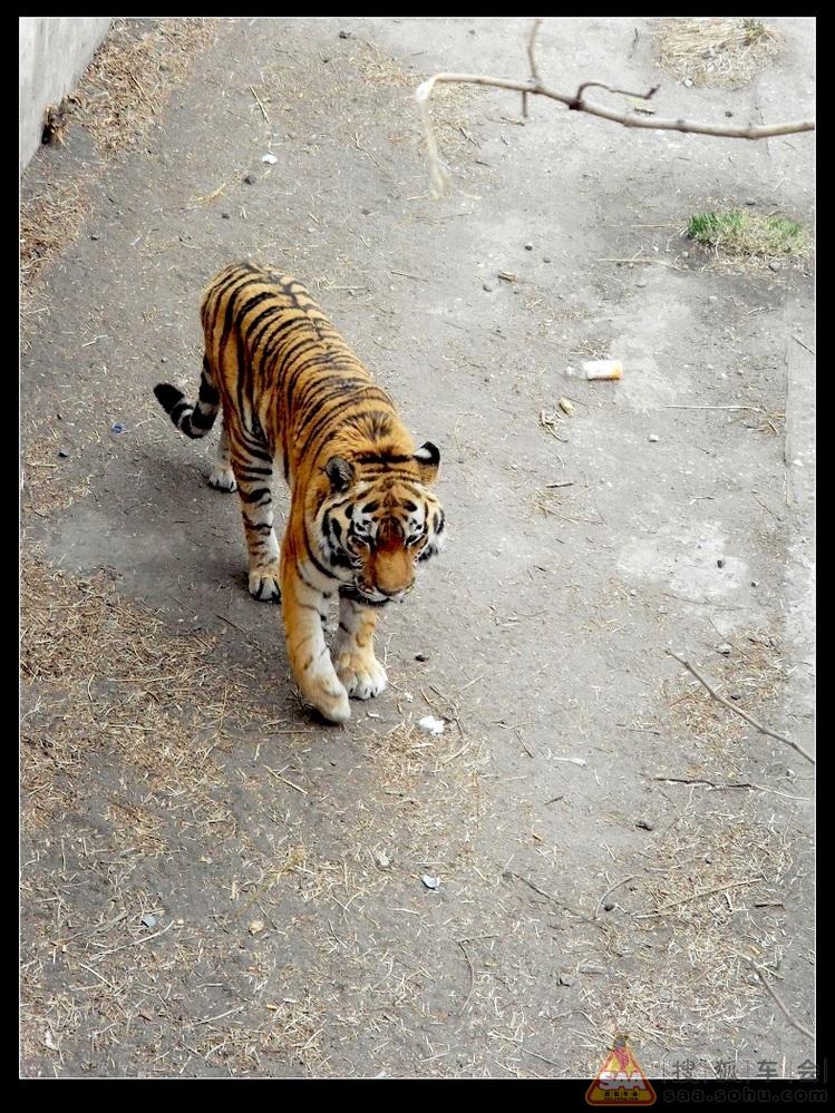 是哺乳纲中豹属的四种大型猫科动物中