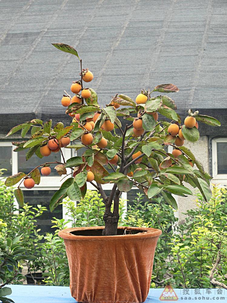 金秋果树盆景展之果树盆景