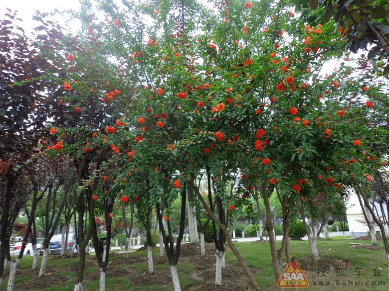 在石榴树浓密的叶子中偶尔