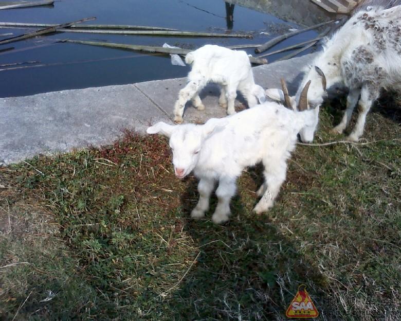 部队的羊妈妈生小羊了!两只可爱的小家伙,嫩嫩的羊羔.